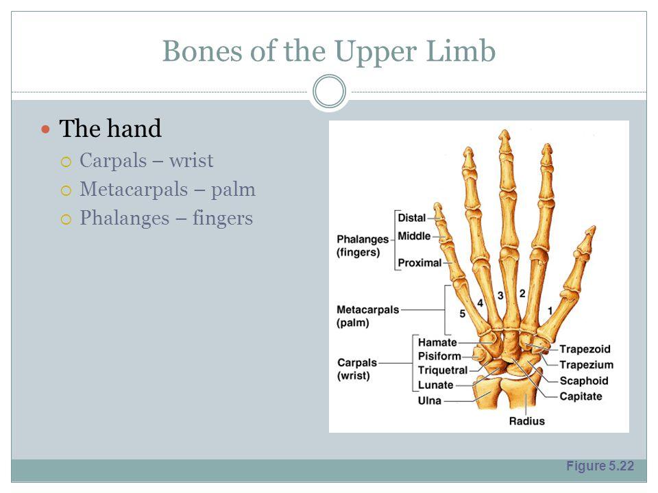 Bones of the Upper Limb The hand  Carpals – wrist  Metacarpals – palm  Phalanges – fingers Figure 5.22