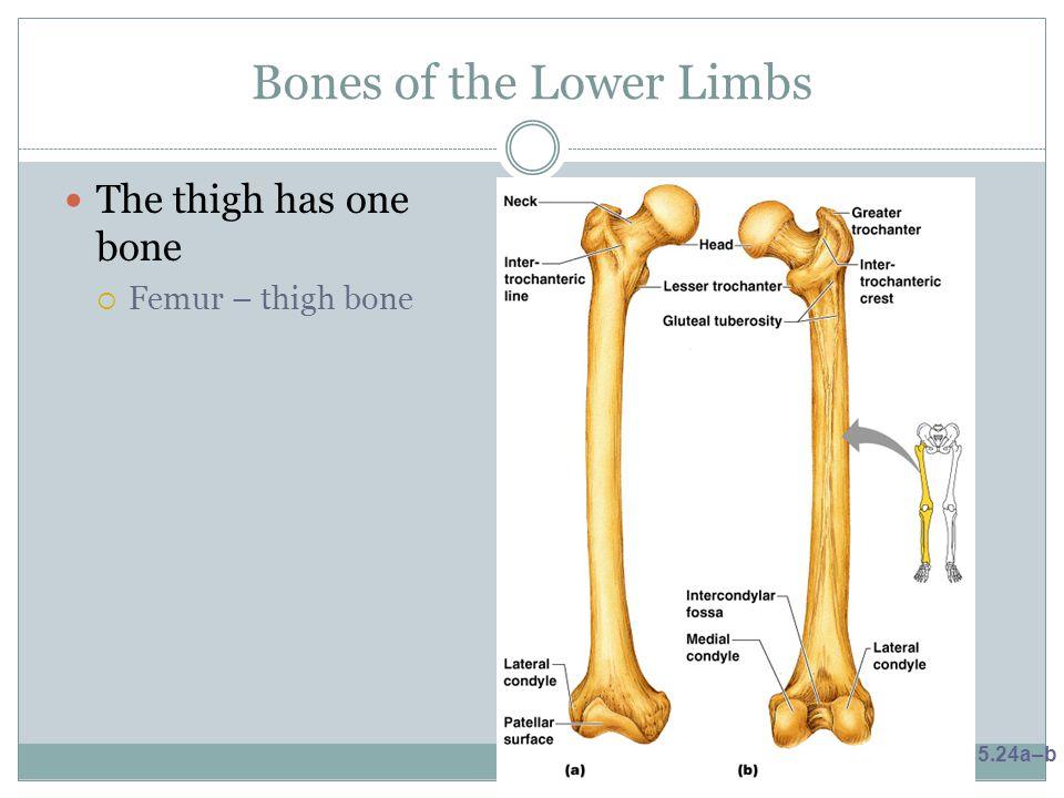 Bones of the Lower Limbs The thigh has one bone  Femur – thigh bone Figure 5.24a–b