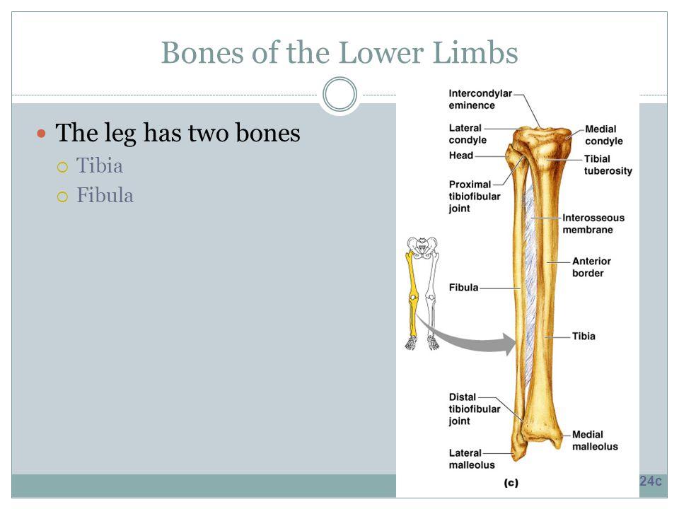 Bones of the Lower Limbs The leg has two bones  Tibia  Fibula Figure 5.24c
