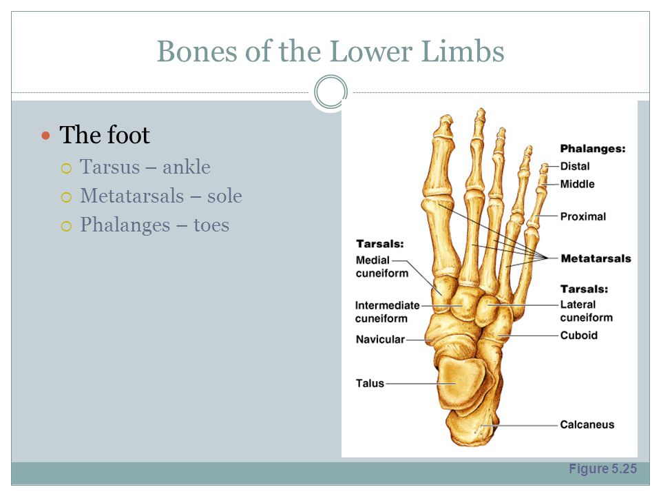 Bones of the Lower Limbs The foot  Tarsus – ankle  Metatarsals – sole  Phalanges – toes Figure 5.25