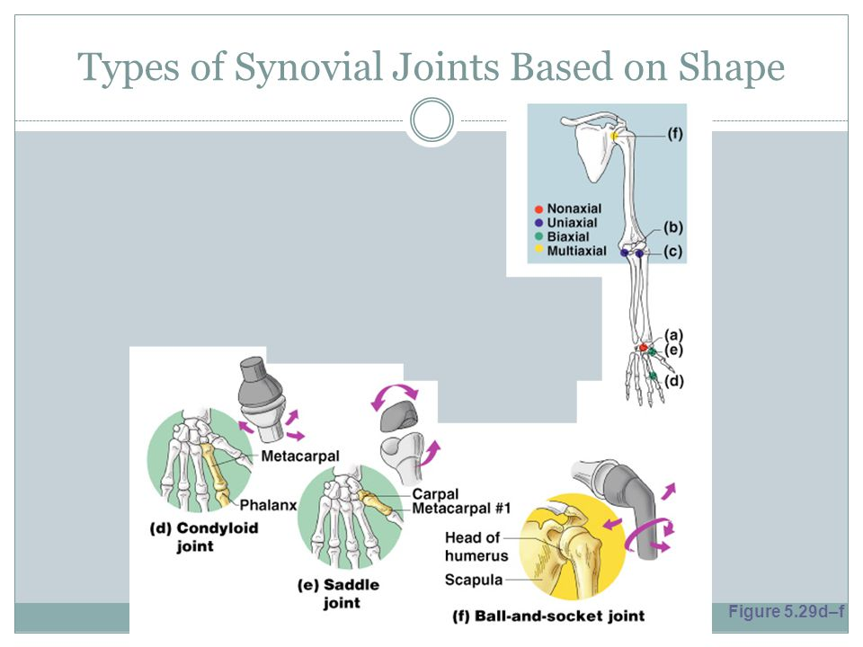 Types of Synovial Joints Based on Shape Figure 5.29d–f