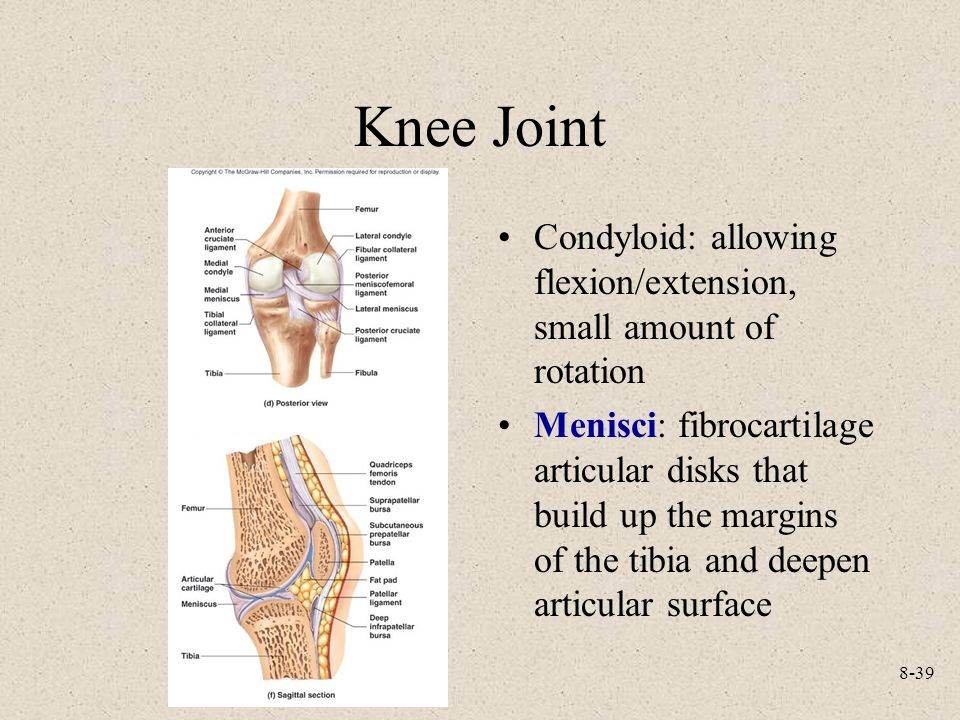8-39 Knee Joint Condyloid: allowing flexion/extension, small amount of rotation Menisci: fibrocartilage articular disks that build up the margins of t