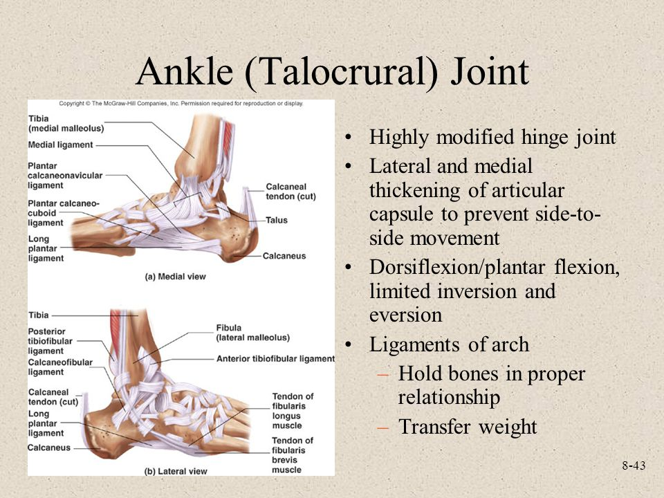 8-43 Ankle (Talocrural) Joint Highly modified hinge joint Lateral and medial thickening of articular capsule to prevent side-to- side movement Dorsiflexion/plantar flexion, limited inversion and eversion Ligaments of arch –Hold bones in proper relationship –Transfer weight