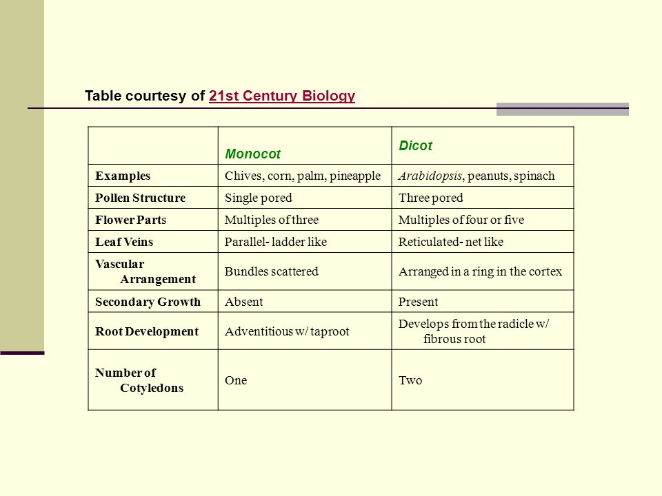 Table courtesy of 21st Century Biology21st Century Biology Monocot Dicot ExamplesChives, corn, palm, pineappleArabidopsis, peanuts, spinach Pollen StructureSingle poredThree pored Flower PartsMultiples of threeMultiples of four or five Leaf VeinsParallel- ladder likeReticulated- net like Vascular Arrangement Bundles scatteredArranged in a ring in the cortex Secondary GrowthAbsentPresent Root DevelopmentAdventitious w/ taproot Develops from the radicle w/ fibrous root Number of Cotyledons OneTwo