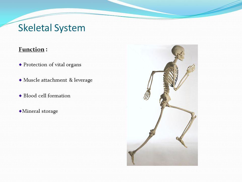 Types of Skeletons Axial (green)  80 bones  skull, vertebral column, ribs, & sternum Appendicular (purple)  126 bones  Upper extremities {includes clavicles & scapula}  Lower extremities { includes pelvis}