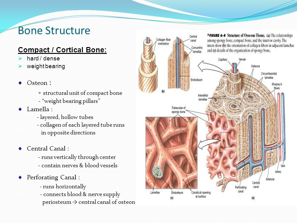 Bone Structure Compact / Cortical Bone: hhard / dense wweight bearing Osteon : - structural unit of compact bone - weight bearing pillars Lamella : - layered, hollow tubes - collagen of each layered tube runs in opposite directions Central Canal : - runs vertically through center - contain nerves & blood vessels Perforating Canal : - runs horizontally - connects blood & nerve supply periosteum → central canal of osteon