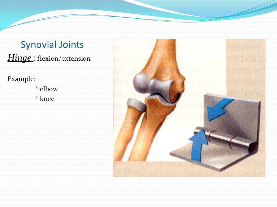 Synovial Joints Hinge : flexion/extension Example: * elbow * knee
