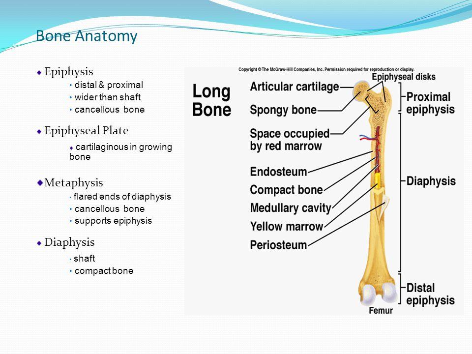 Bone Anatomy Epiphysis distal & proximal wider than shaft cancellous bone Epiphyseal Plate cartilaginous in growing bone Metaphysis flared ends of diaphysis cancellous bone supports epiphysis Diaphysis shaft compact bone