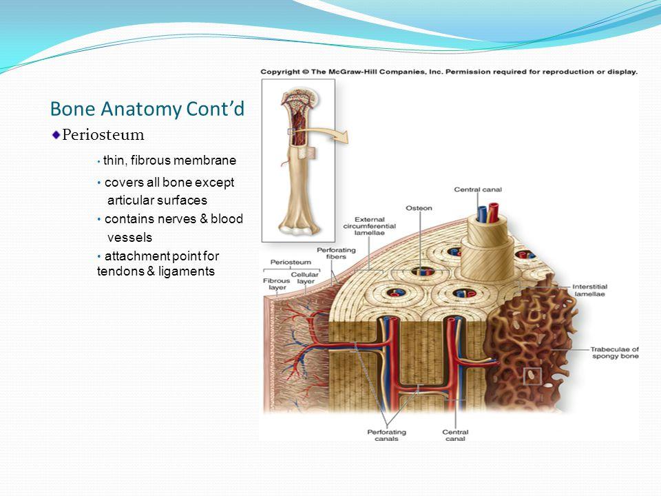 Bone Structure Overview  Periosteum = Superficial layer  Compact bone = Middle  Cancellous bone = Deep