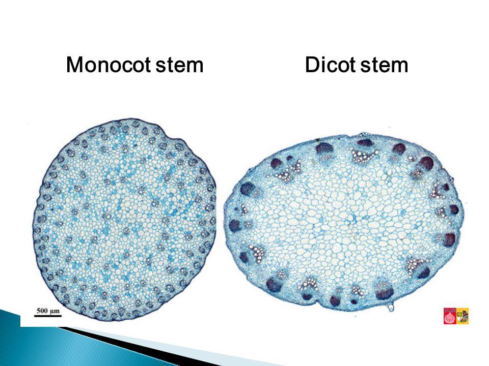 Monocot stemDicot stem