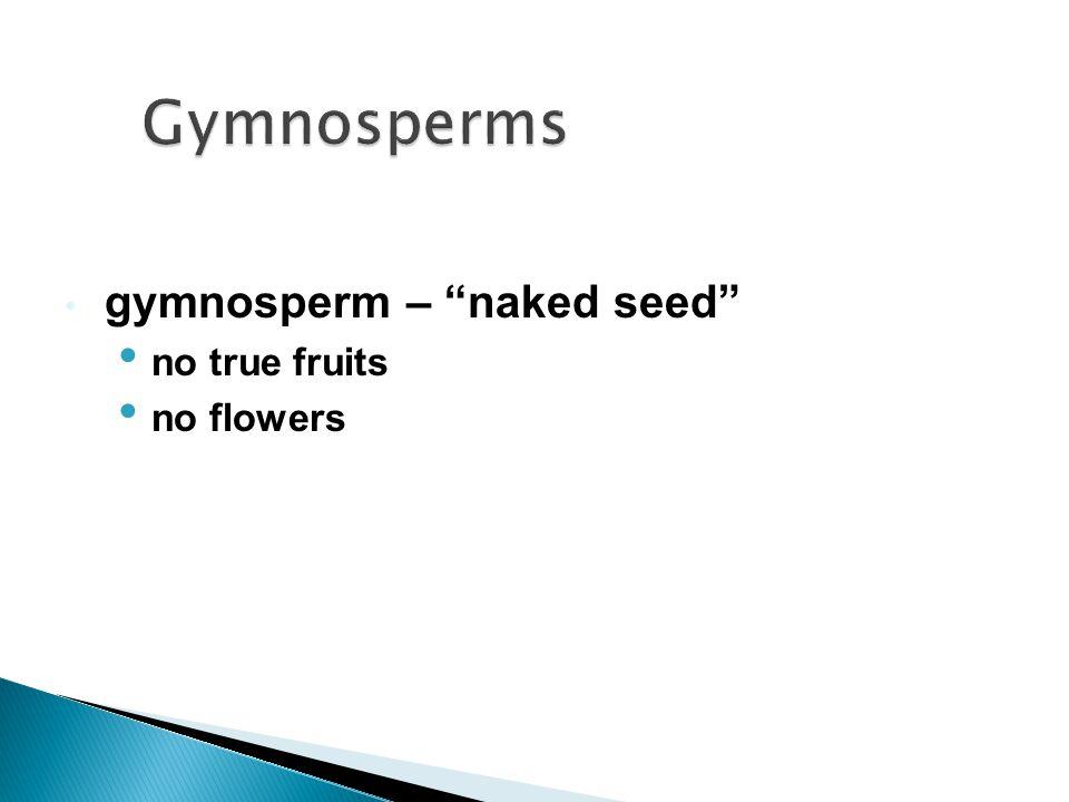 """gymnosperm – """"naked seed"""" no true fruits no flowers"""