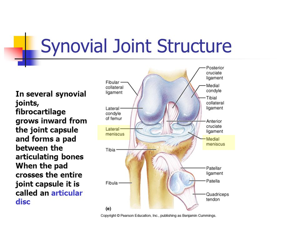 Synovial Joint Structure In several synovial joints, fibrocartilage grows inward from the joint capsule and forms a pad between the articulating bones