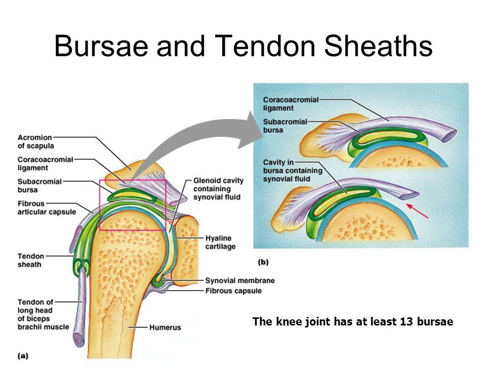 Bursae and Tendon Sheaths Figure 9.4a, b The knee joint has at least 13 bursae