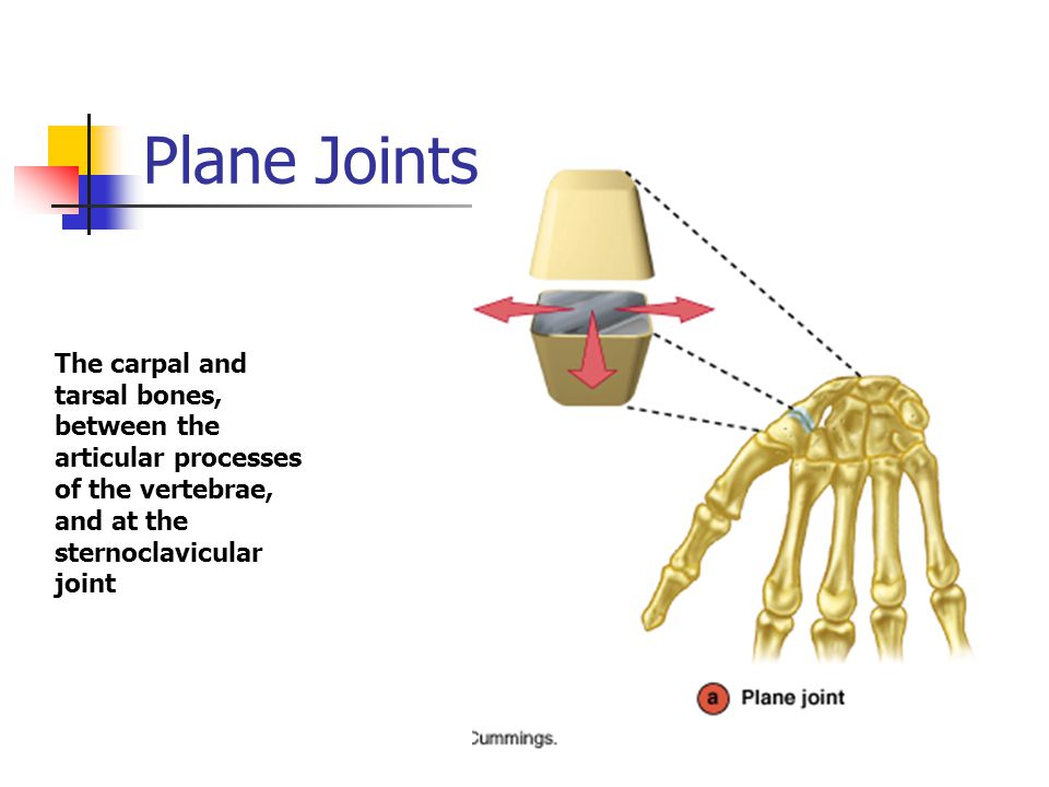 Plane Joints The carpal and tarsal bones, between the articular processes of the vertebrae, and at the sternoclavicular joint