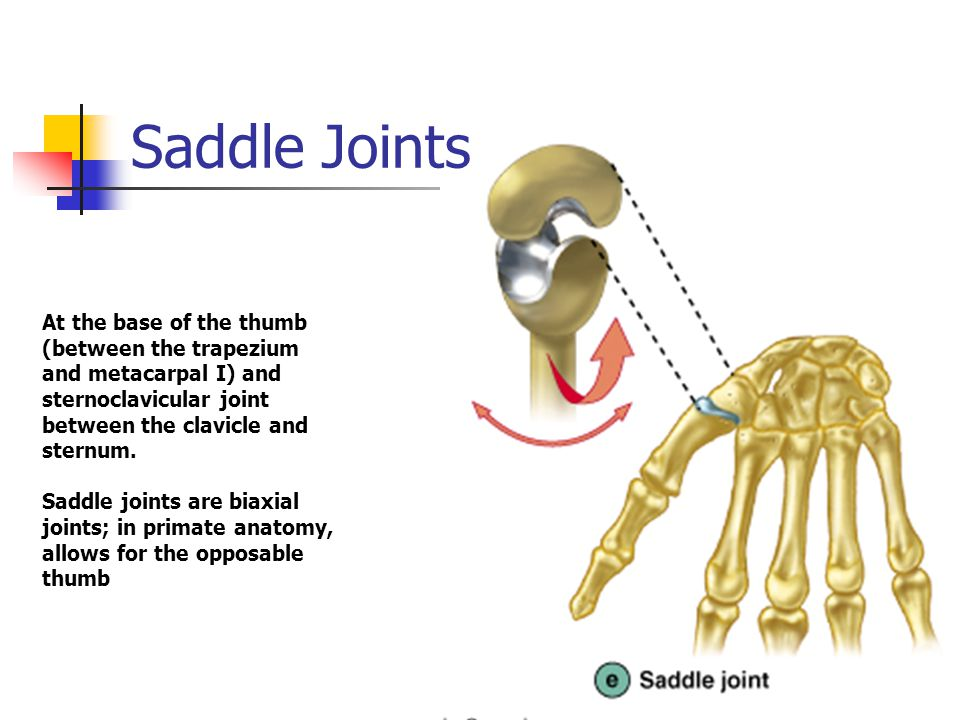 Saddle Joints At the base of the thumb (between the trapezium and metacarpal I) and sternoclavicular joint between the clavicle and sternum. Saddle jo