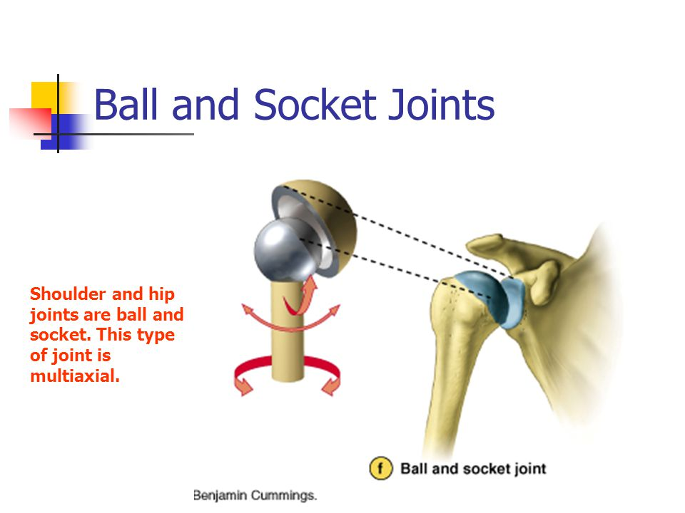 Ball and Socket Joints Shoulder and hip joints are ball and socket. This type of joint is multiaxial.