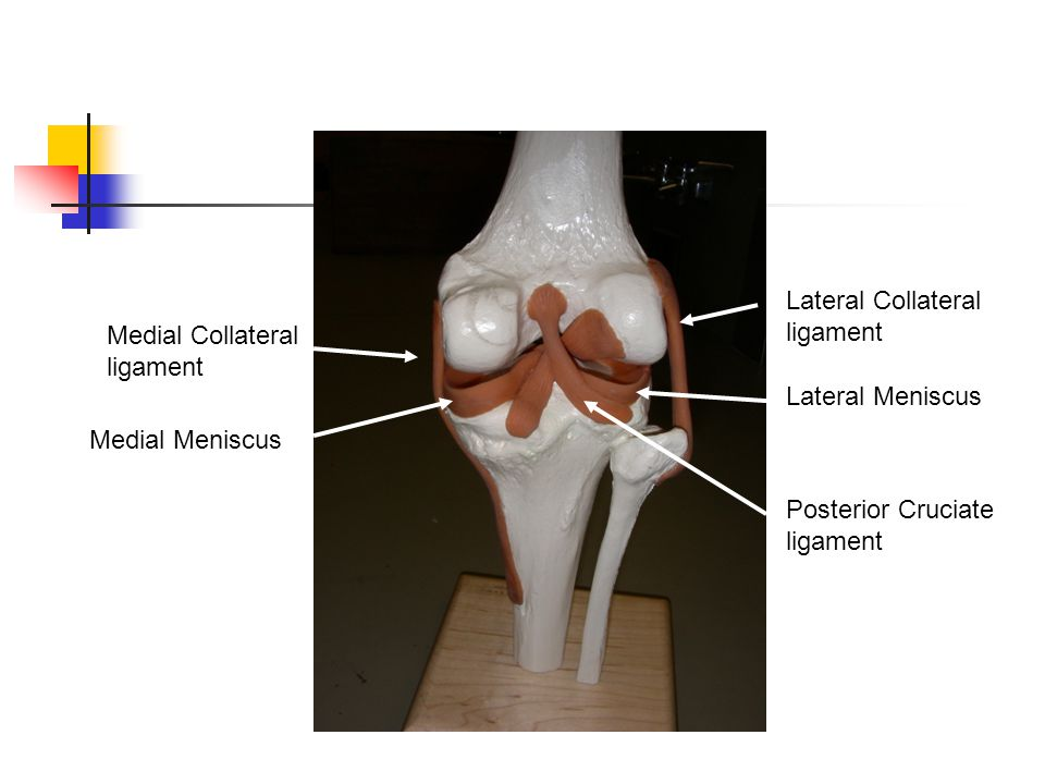 Posterior Cruciate ligament Lateral Collateral ligament Lateral Meniscus Medial Collateral ligament Medial Meniscus