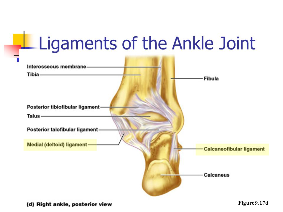 Ligaments of the Ankle Joint Figure 9.17d