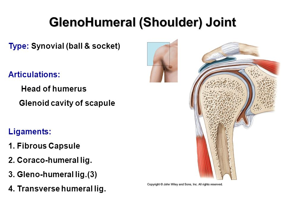 GlenoHumeral (Shoulder) Joint Type: Synovial (ball & socket) Articulations: Head of humerus Glenoid cavity of scapule Ligaments: 1.