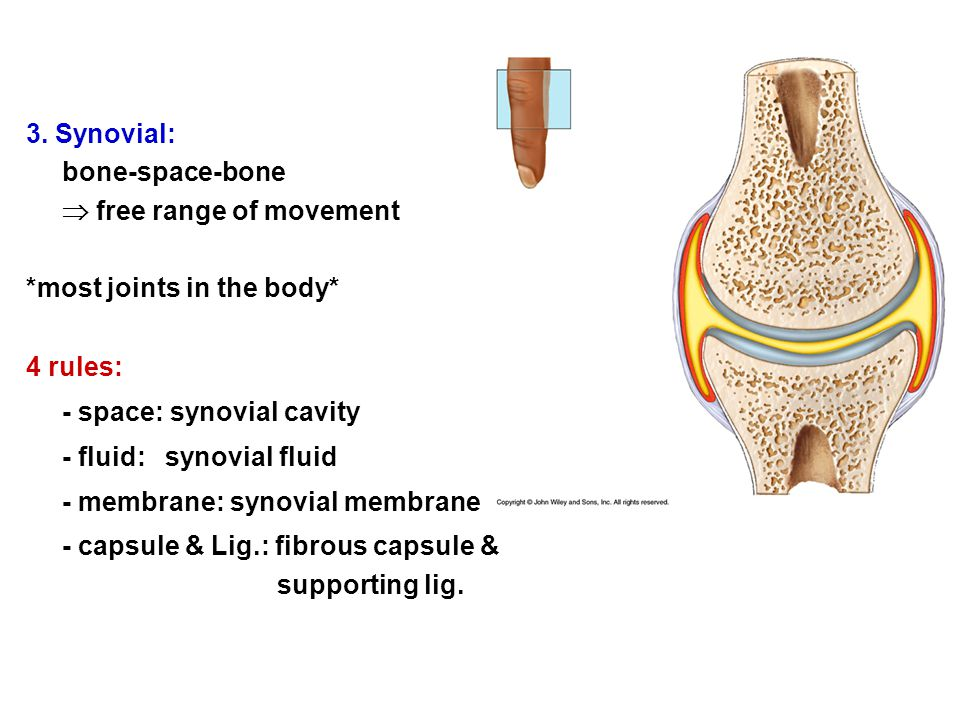 3. Synovial: bone-space-bone  free range of movement *most joints in the body* 4 rules: - space: synovial cavity - fluid: synovial fluid - membrane: