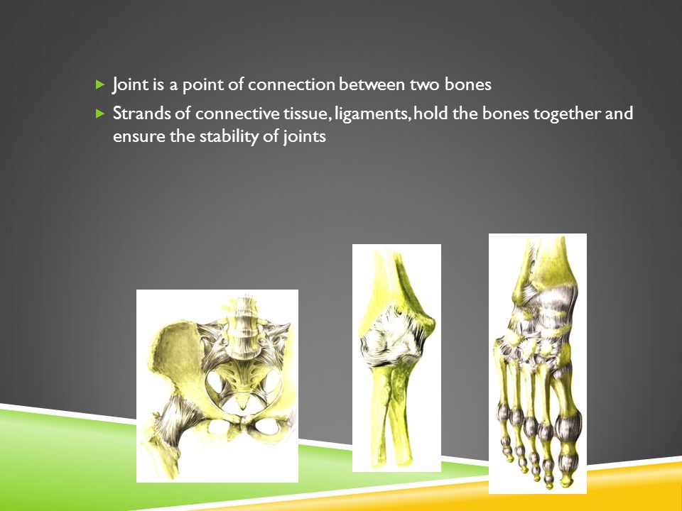  Joint is a point of connection between two bones  Strands of connective tissue, ligaments, hold the bones together and ensure the stability of joints