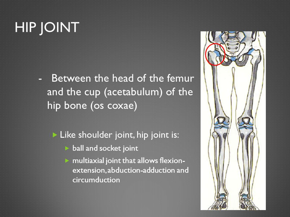 HIP JOINT - Between the head of the femur and the cup (acetabulum) of the hip bone (os coxae)  Like shoulder joint, hip joint is:  ball and socket joint  multiaxial joint that allows flexion- extension, abduction-adduction and circumduction
