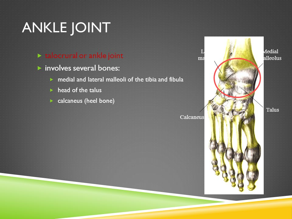 ANKLE JOINT  talocrural or ankle joint  involves several bones:  medial and lateral malleoli of the tibia and fibula  head of the talus  calcaneus (heel bone) Medial malleolus Lateral malleolus Talus Calcaneus