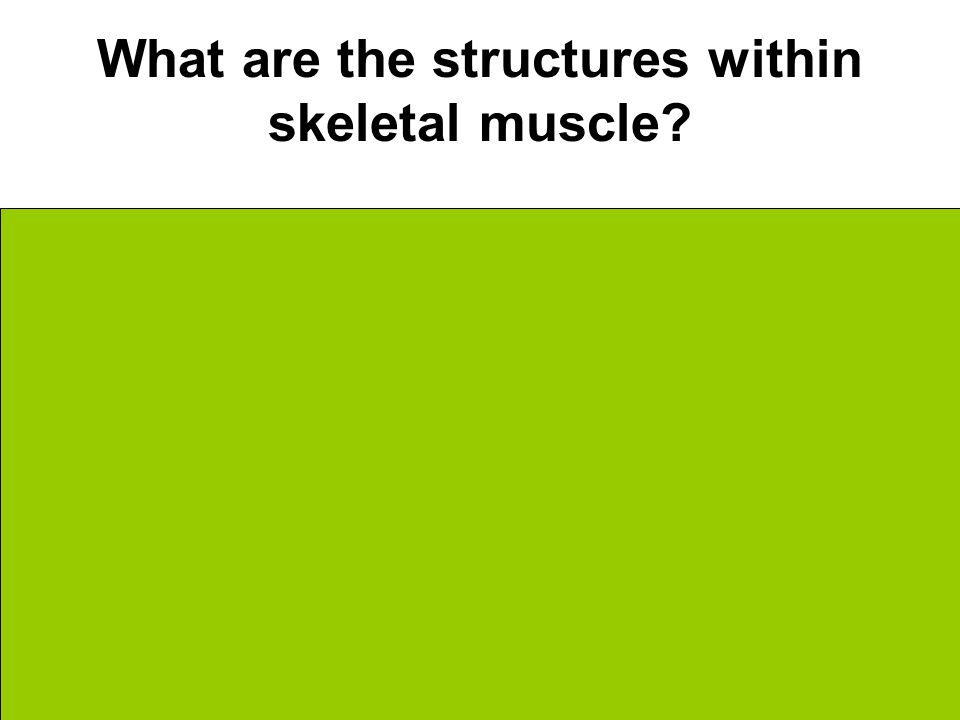 What are the structures within skeletal muscle.