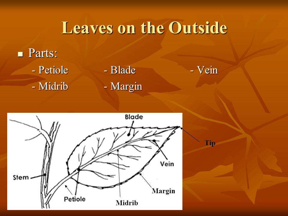 Leaves on the Outside Parts: Parts: - Petiole- Blade- Vein - Midrib- Margin Tip Midrib Margin