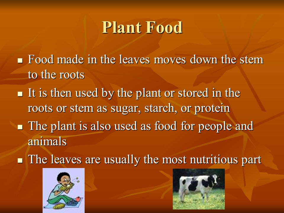 Plant Food Food made in the leaves moves down the stem to the roots Food made in the leaves moves down the stem to the roots It is then used by the plant or stored in the roots or stem as sugar, starch, or protein It is then used by the plant or stored in the roots or stem as sugar, starch, or protein The plant is also used as food for people and animals The plant is also used as food for people and animals The leaves are usually the most nutritious part The leaves are usually the most nutritious part