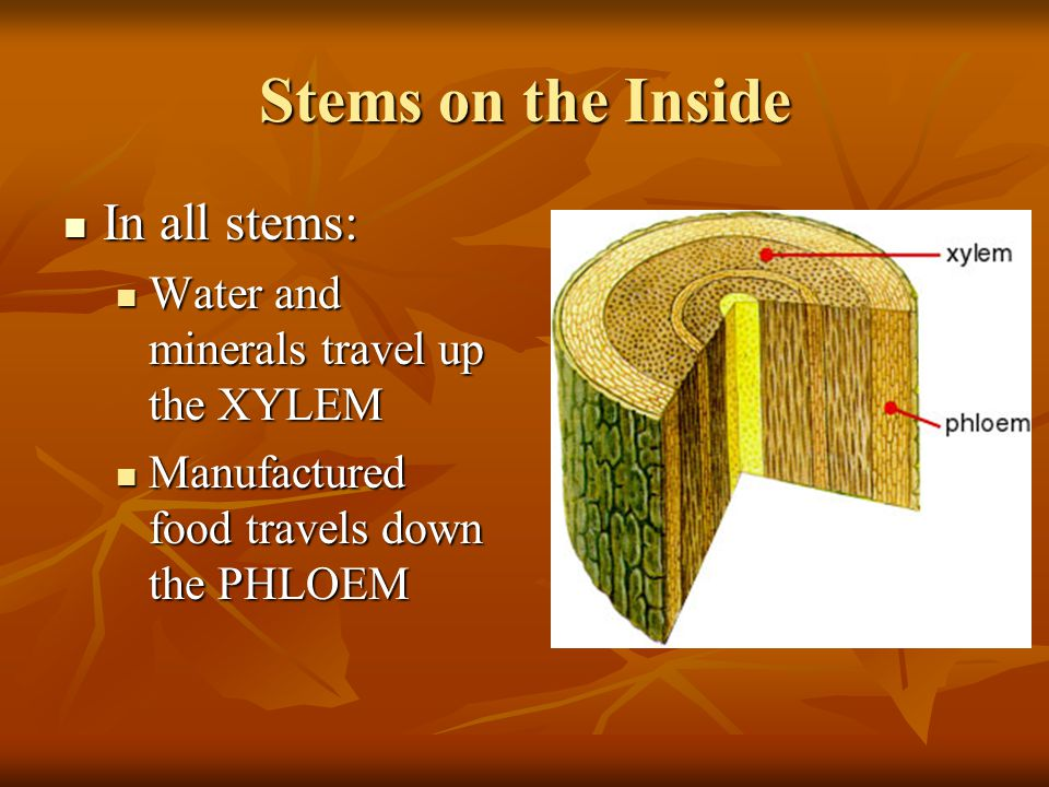 Stems on the Inside In all stems: In all stems: Water and minerals travel up the XYLEM Water and minerals travel up the XYLEM Manufactured food travels down the PHLOEM Manufactured food travels down the PHLOEM