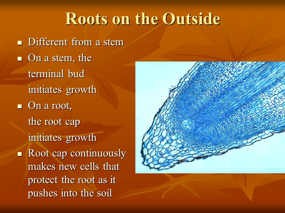 Roots on the Outside Different from a stem Different from a stem On a stem, the On a stem, the terminal bud terminal bud initiates growth initiates growth On a root, On a root, the root cap the root cap initiates growth initiates growth Root cap continuously makes new cells that protect the root as it pushes into the soil Root cap continuously makes new cells that protect the root as it pushes into the soil