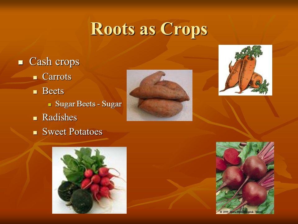 Roots as Crops Cash crops Cash crops Carrots Carrots Beets Beets Sugar Beets - Sugar Sugar Beets - Sugar Radishes Radishes Sweet Potatoes Sweet Potatoes