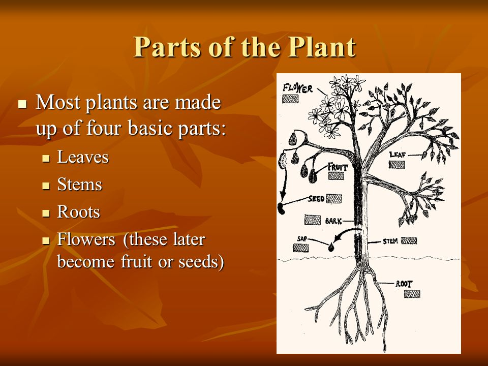 Parts of the Plant Most plants are made up of four basic parts: Most plants are made up of four basic parts: Leaves Leaves Stems Stems Roots Roots Flowers (these later become fruit or seeds) Flowers (these later become fruit or seeds)