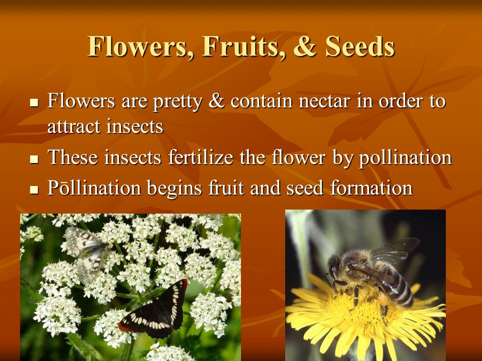 Flowers, Fruits, & Seeds Flowers are pretty & contain nectar in order to attract insects These insects fertilize the flower by pollination Pollination begins fruit and seed formation