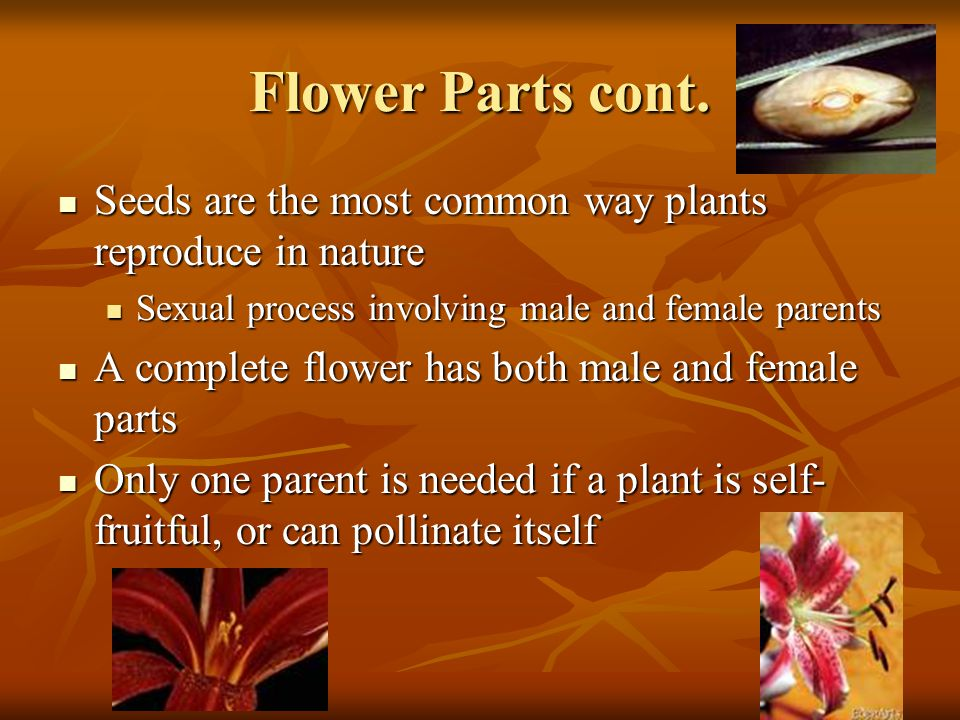 Flower Parts cont. Seeds are the most common way plants reproduce in nature Seeds are the most common way plants reproduce in nature Sexual process in