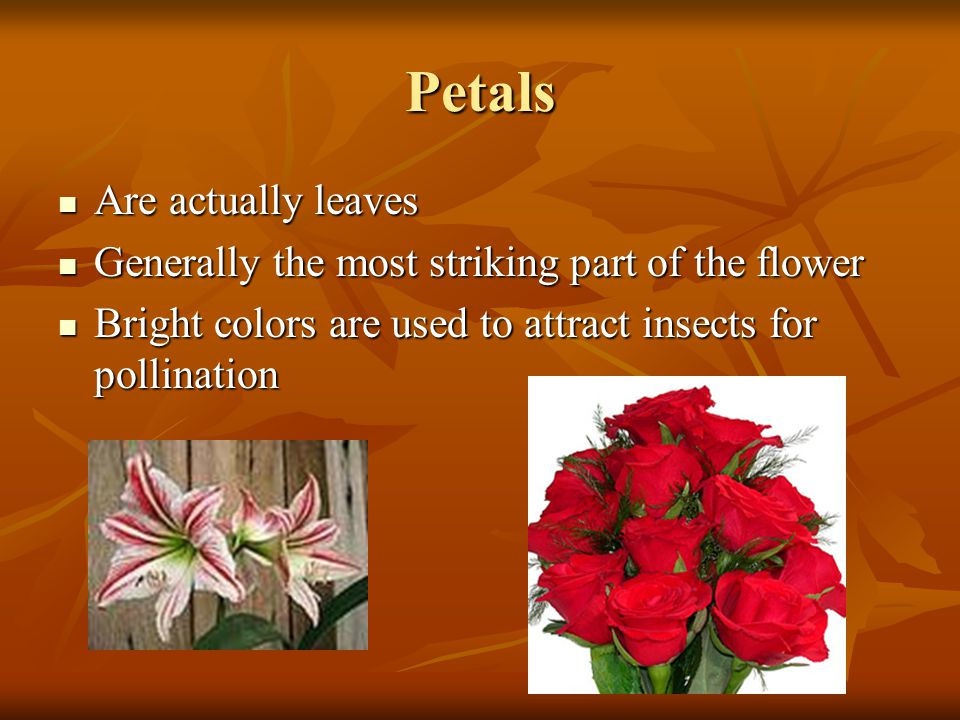 Petals Are actually leaves Generally the most striking part of the flower Bright colors are used to attract insects for pollination