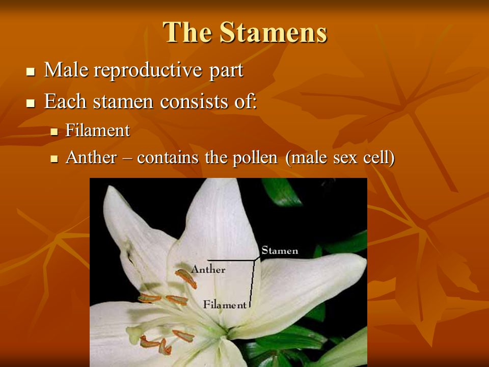 The Stamens Male reproductive part Male reproductive part Each stamen consists of: Each stamen consists of: Filament Filament Anther – contains the pollen (male sex cell) Anther – contains the pollen (male sex cell)