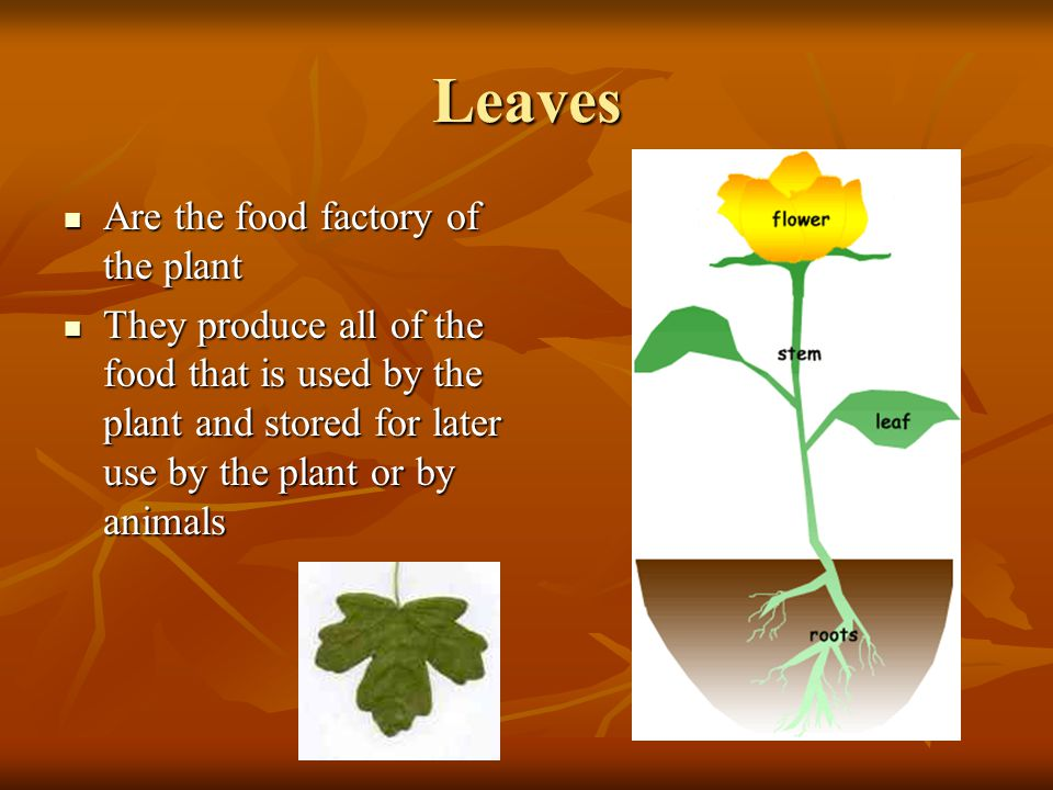 Leaves Are the food factory of the plant Are the food factory of the plant They produce all of the food that is used by the plant and stored for later use by the plant or by animals They produce all of the food that is used by the plant and stored for later use by the plant or by animals