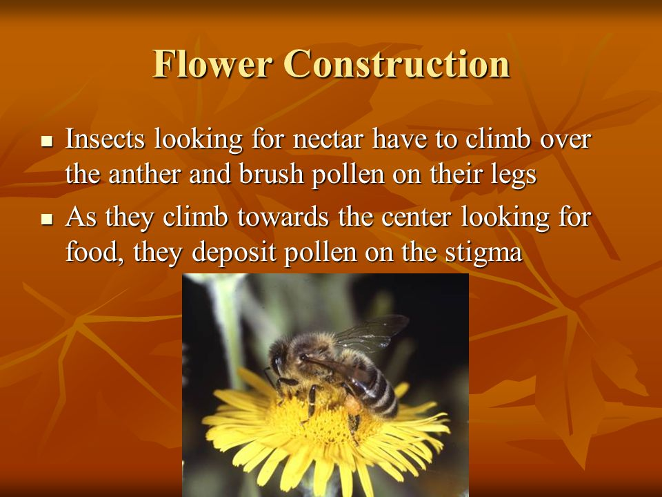 Flower Construction Insects looking for nectar have to climb over the anther and brush pollen on their legs Insects looking for nectar have to climb o