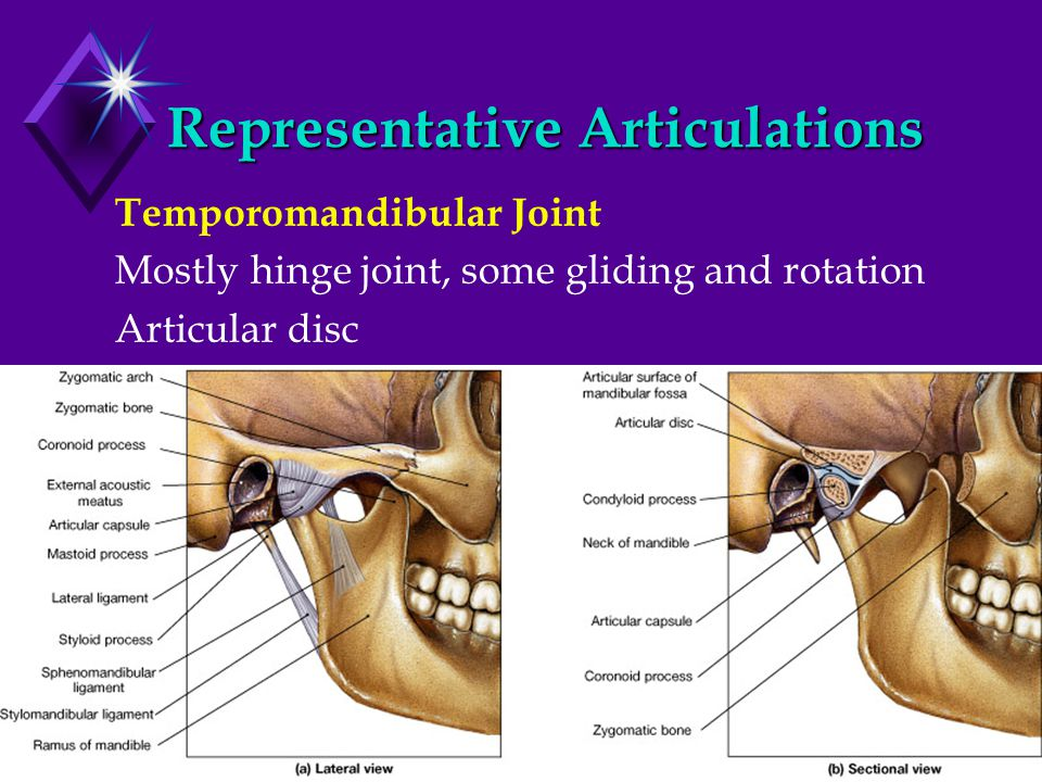Representative Articulations Temporomandibular Joint Mostly hinge joint, some gliding and rotation Articular disc