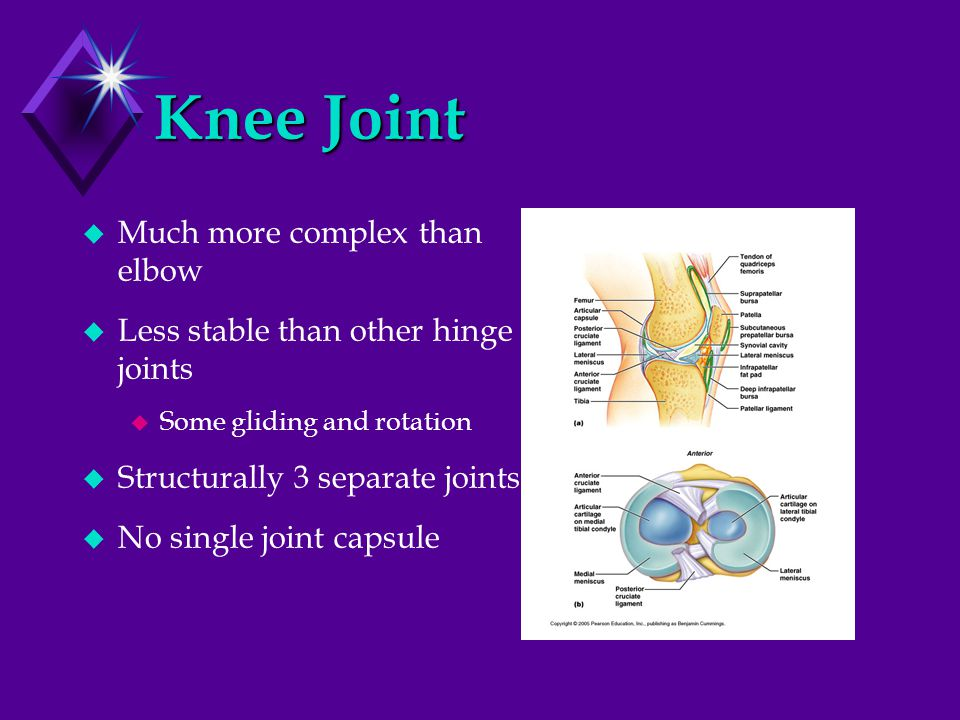 Knee Joint  Much more complex than elbow  Less stable than other hinge joints  Some gliding and rotation  Structurally 3 separate joints  No sing
