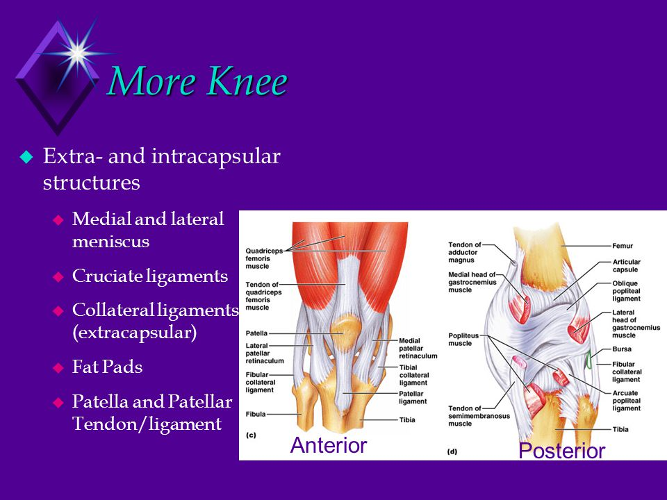 More Knee  Extra- and intracapsular structures  Medial and lateral meniscus  Cruciate ligaments  Collateral ligaments (extracapsular)  Fat Pads  Patella and Patellar Tendon/ligament Anterior Posterior