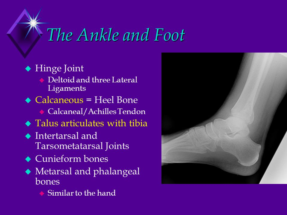 The Ankle and Foot  Hinge Joint  Deltoid and three Lateral Ligaments  Calcaneous = Heel Bone  Calcaneal/Achilles Tendon  Talus articulates with t