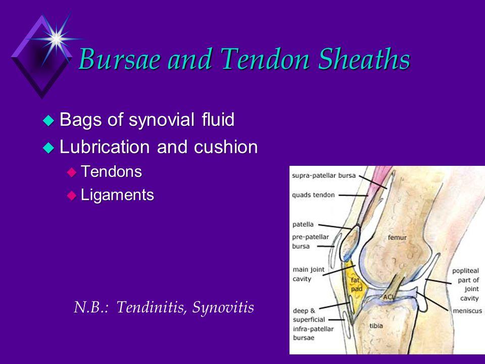 Knee, sagittal section Ant. Cruc. Lig.