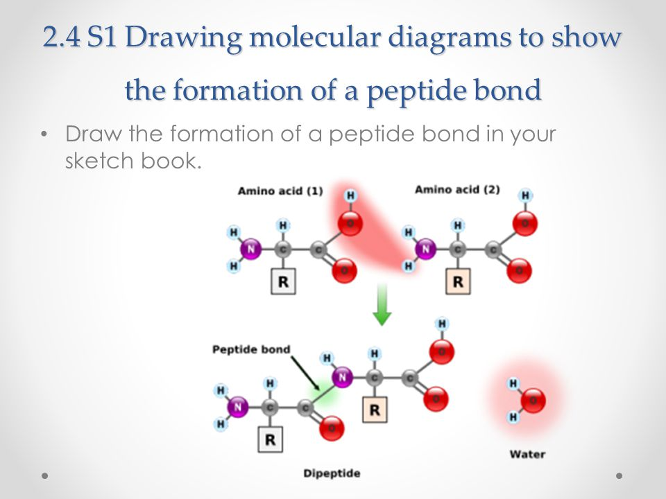 2.4 S1 Drawing molecular diagrams to show the formation of a peptide bond Draw the formation of a peptide bond in your sketch book.