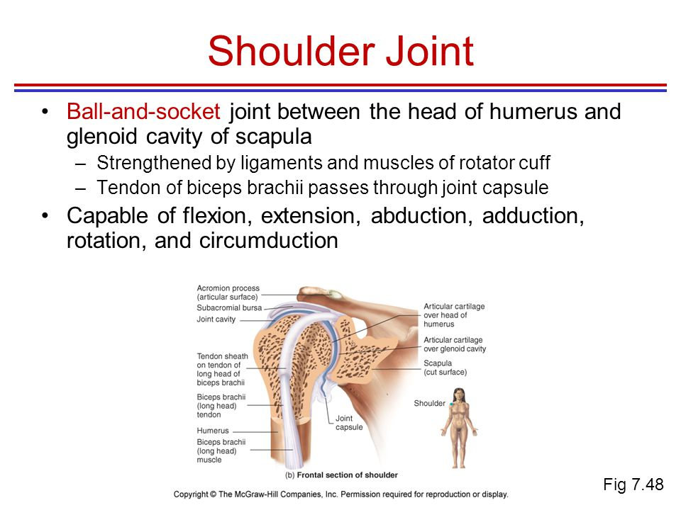 Shoulder Joint Ball-and-socket joint between the head of humerus and glenoid cavity of scapula –Strengthened by ligaments and muscles of rotator cuff