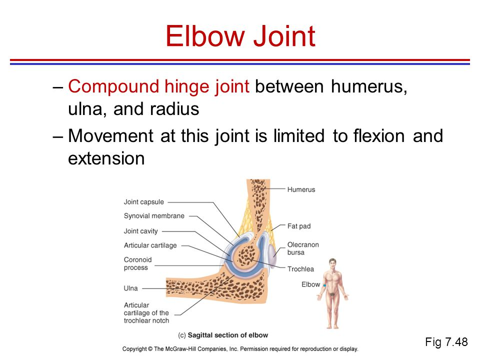 Elbow Joint –Compound hinge joint between humerus, ulna, and radius –Movement at this joint is limited to flexion and extension Fig 7.48