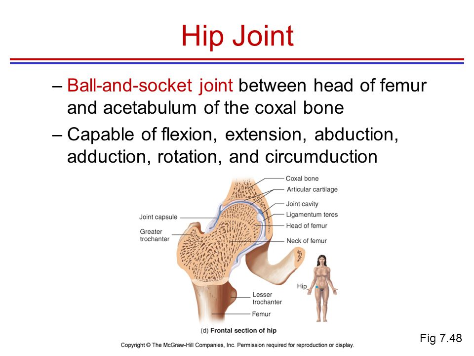Hip Joint –Ball-and-socket joint between head of femur and acetabulum of the coxal bone –Capable of flexion, extension, abduction, adduction, rotation