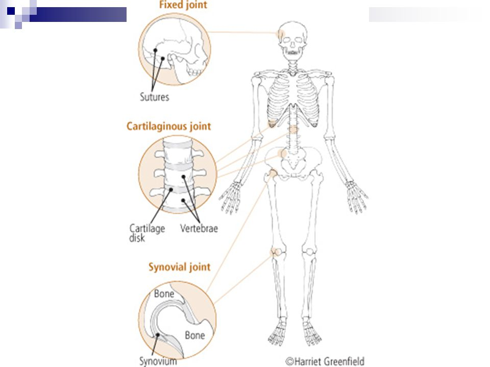 Structural Classifications Synovial Joints: The most important type; found throughout the body and named for their synovial cavity that is lubricated by the synovial fluid.